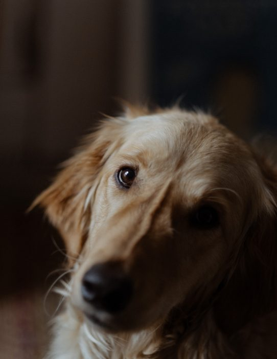 golden retriever portrait alfie chris copeland photography